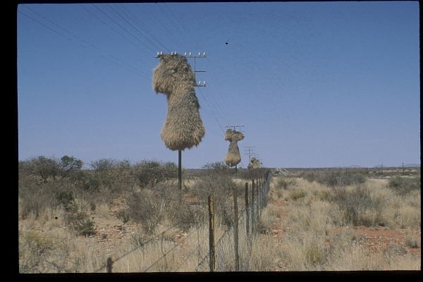 Sociable Weaver nest on pylons