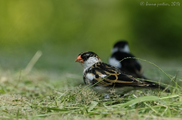 Pin-tailed Whydah - male moulting
