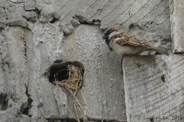 African bird club male house sparrow at nest altavistaventures Images