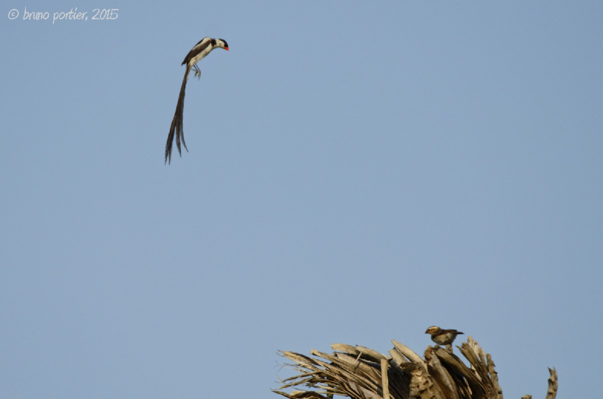 Pin-tailed Whydah - Display flight of male