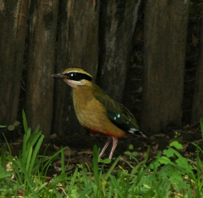 African Pitta in the garden