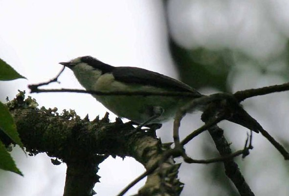 Bocage's Bush-Shrike