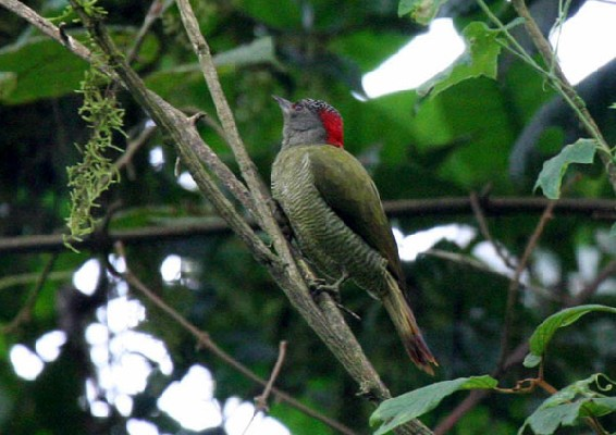 Fine-banded Woodpecker