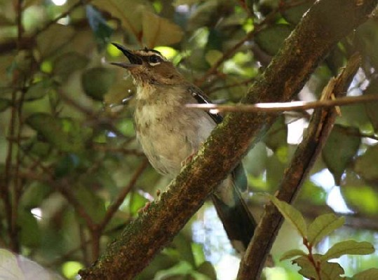Brown Scrub Robin