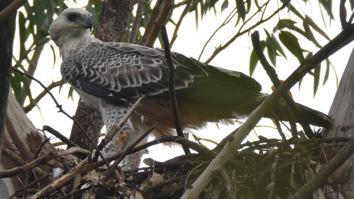 Juvenile Crowned Eagle on nest