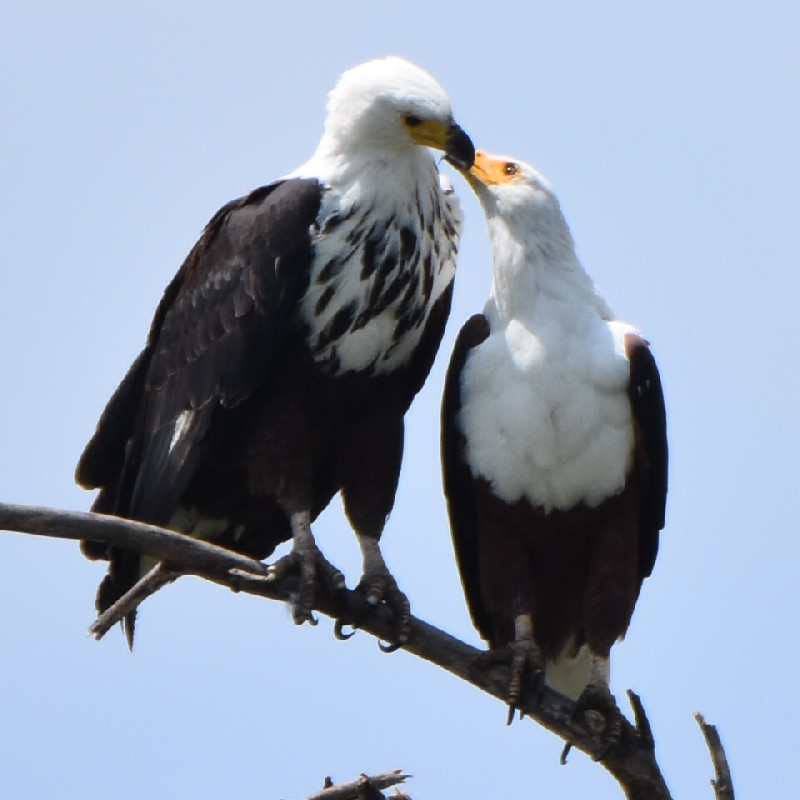 African Fish Eagles (adult and sub-adult)