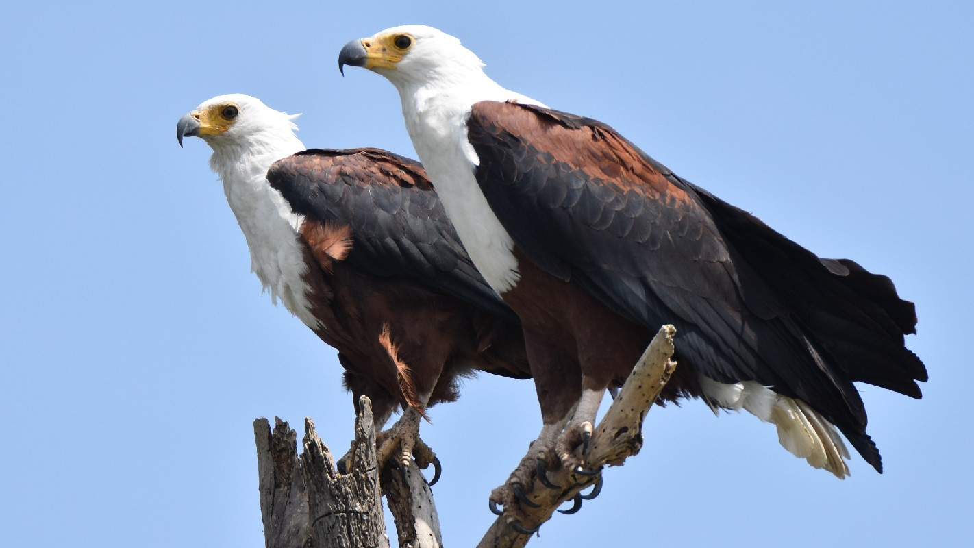 African Fish Eagles (adults)