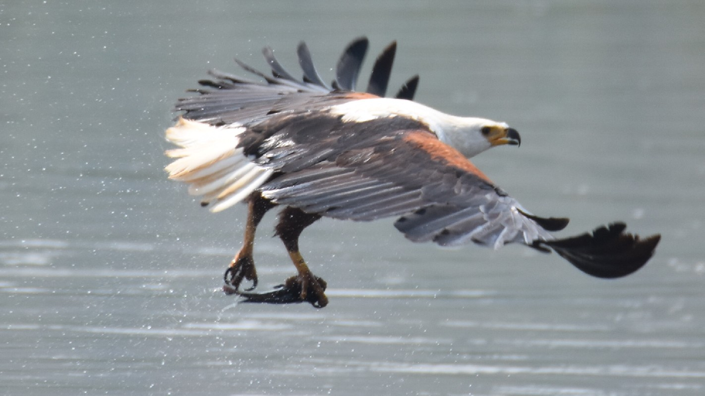 African Fish Eagle eating a fish