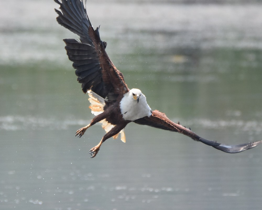African Fish Eagle fishing