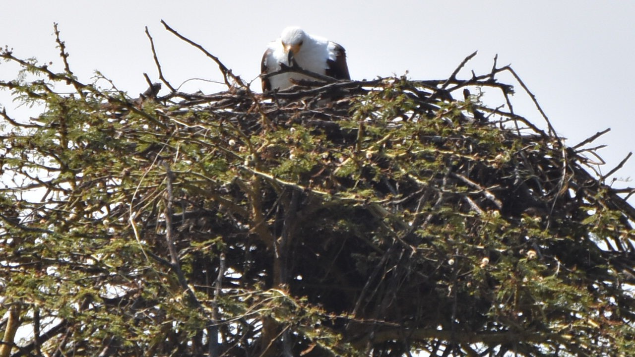 African Fish Eagle at nest