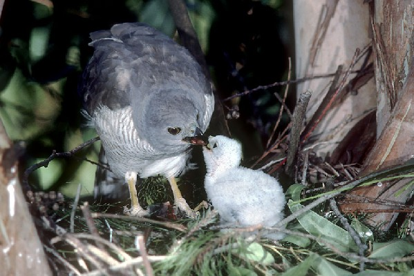 African Goshawk (female) feeding chick