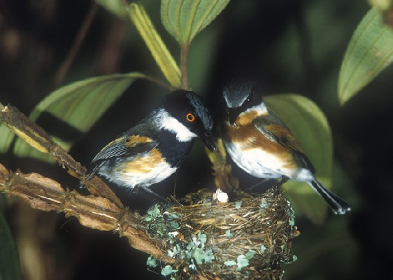 Cape Batis pair at nest