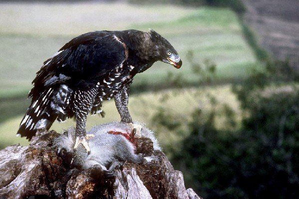 Crowned Eagle feeding