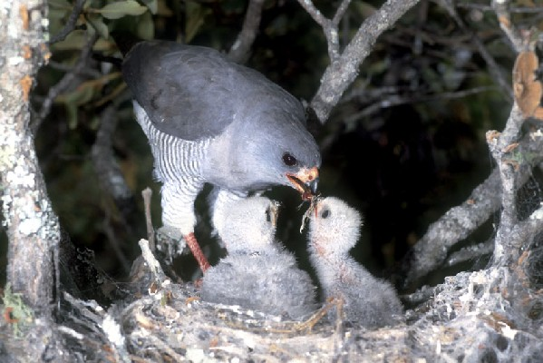 Gabar Goshawk at nest