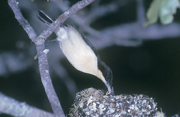 Male Southern Hyliota feeding chicks