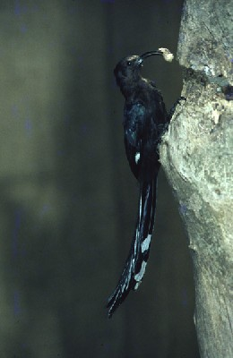 Common Scimitarbill