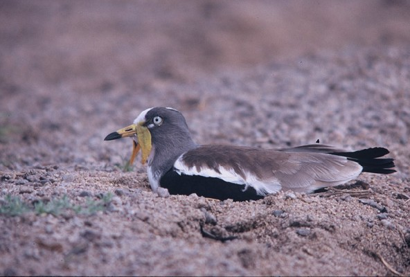 White-headed Lapwing