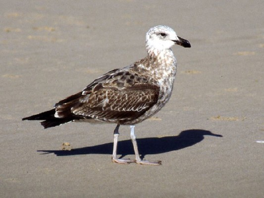 Kelp (Cape) Gull