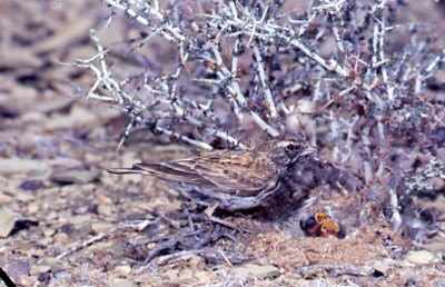 Black-eared Sparrow Lark