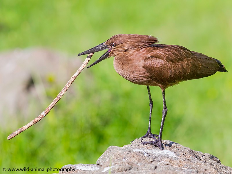 Hamerkop with hollow stick containing ants