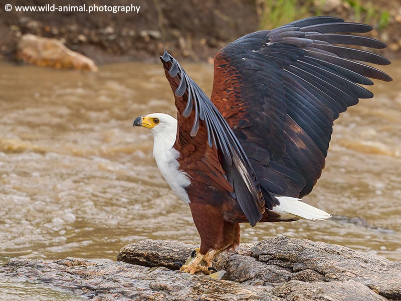 African Fish Eagle with Fish