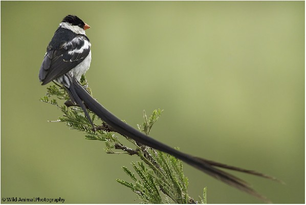 Pin-tailed Whydah, Breeding Plumage