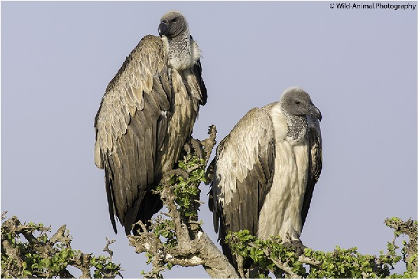 White-backed Vultures Pair