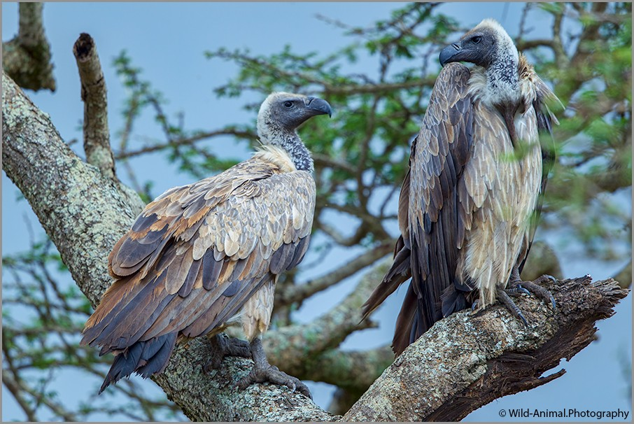 Pair of African White-backed Vultures