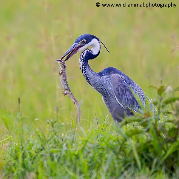 Black-headed Heron and Lizard
