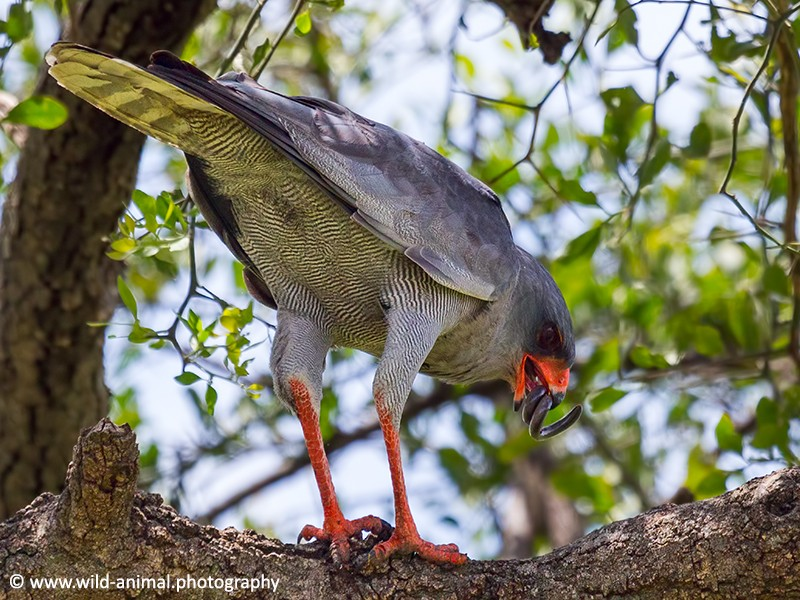 Dark Chanting Goshawk Eating Snake