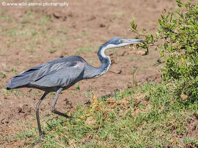 Black-headed Heron Stalking