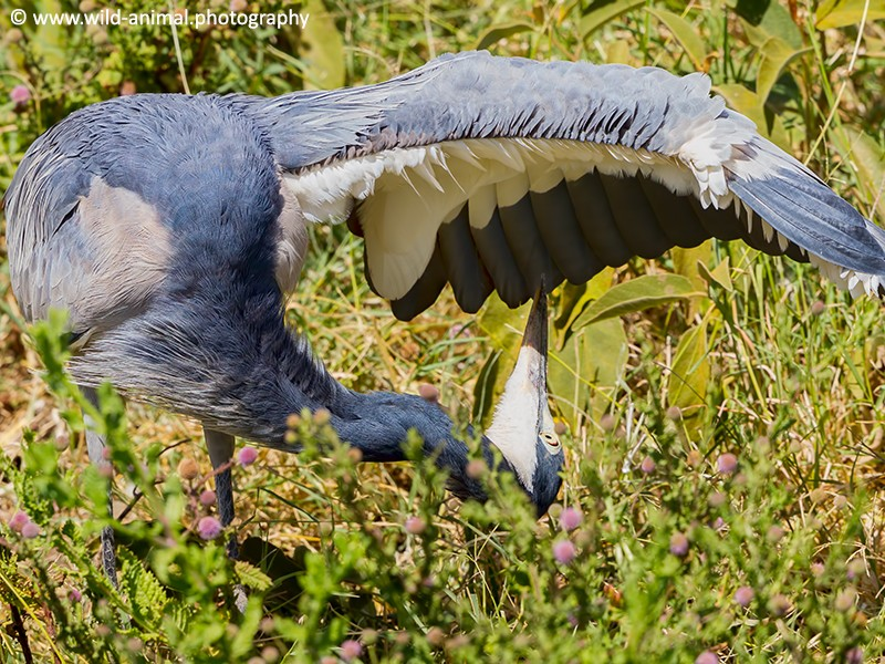 Black-headed Heron Preening