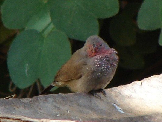 Brown Firefinch - sunbathing