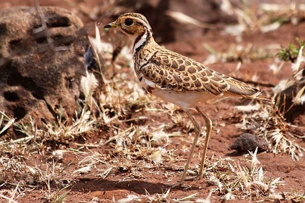 Thre-banded Courser