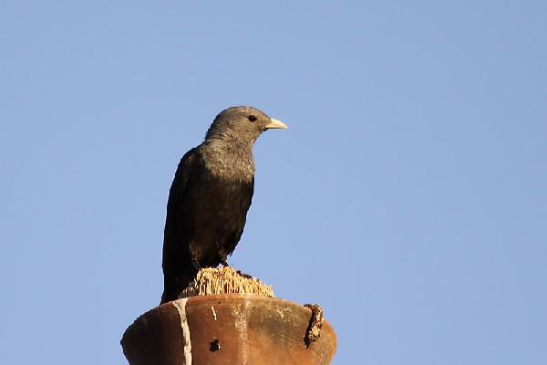 White-billed Starling