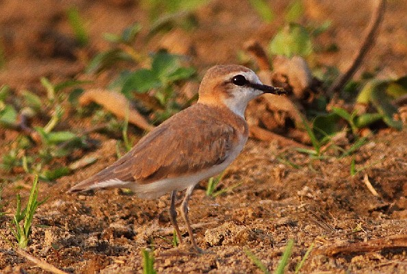 White-fronted Plover - 1st for Murchison NP