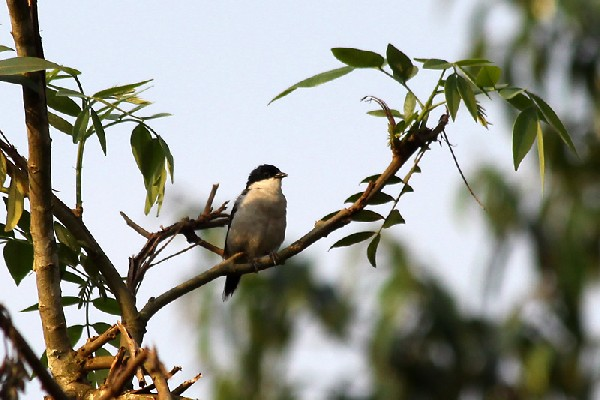 White-breasted Negrofich