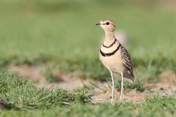 Two-banded Courser