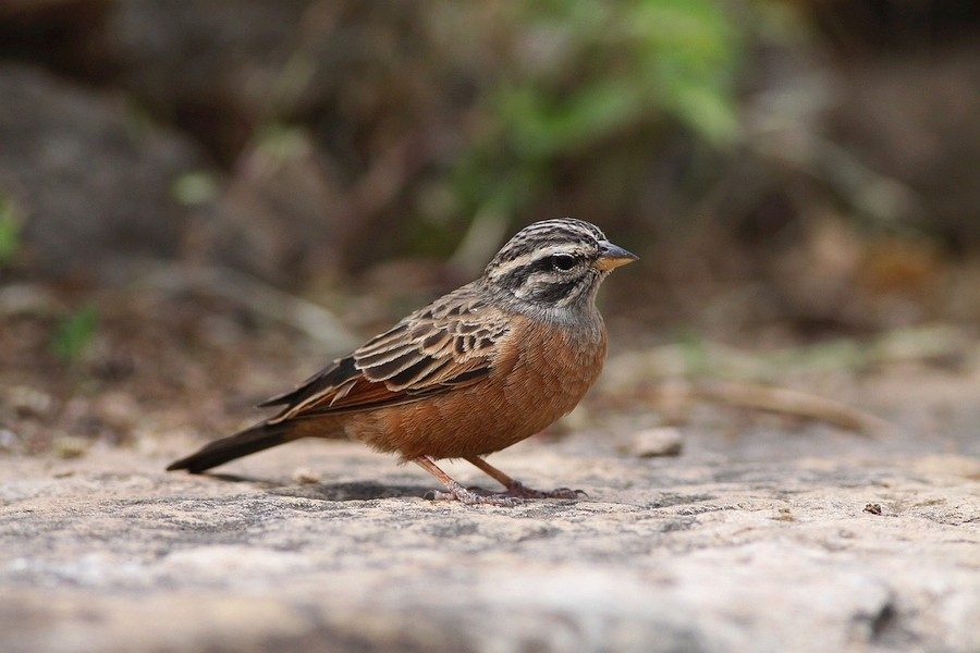 Cinnamon-breasted Bunting - race septemstriata