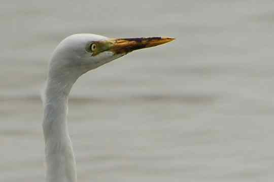 Intermediate Egret close-up