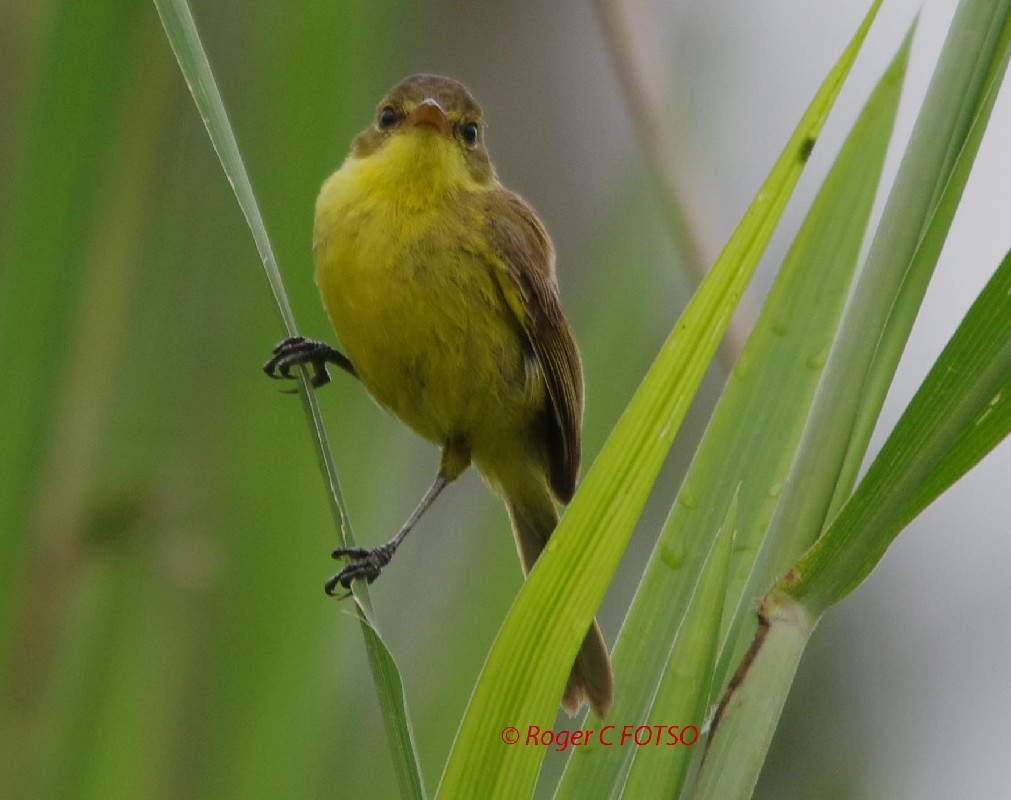 African Yellow Warbler