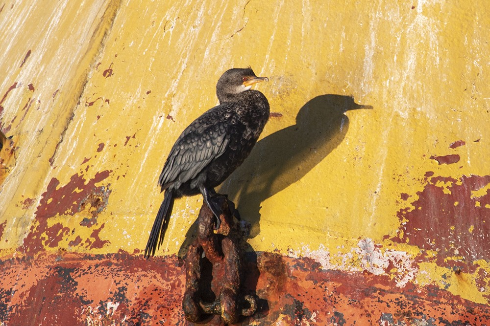 Crowned Cormorant