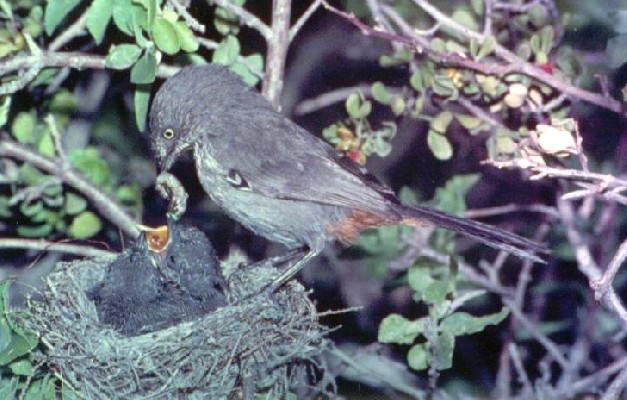 Chestnut-vented Warbler feeding young in nest