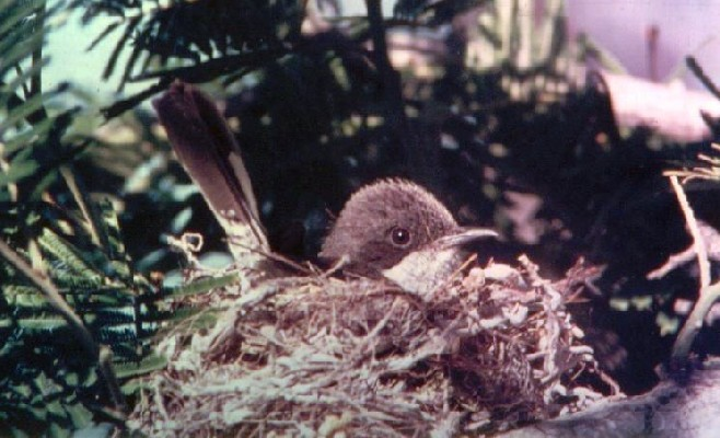 Fiscal Flycatcher incubating