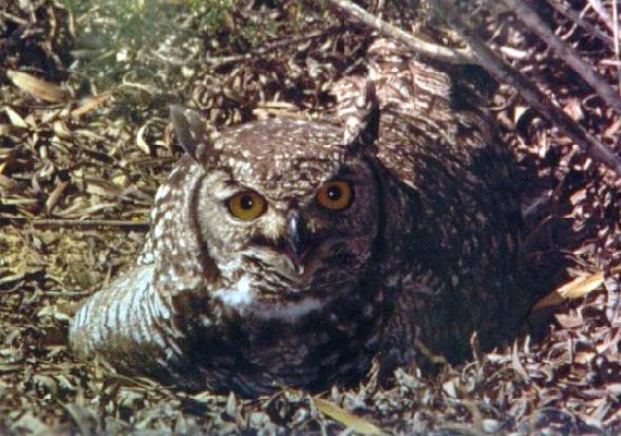 Spotted Eagle Owl incubating