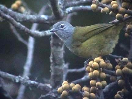 Western Mountain Greenbul
