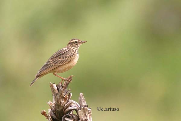 Sun Lark perched