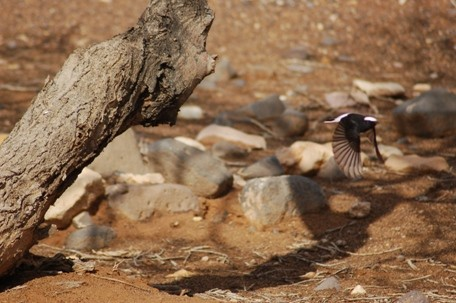 White-crowned Black Wheatear flying