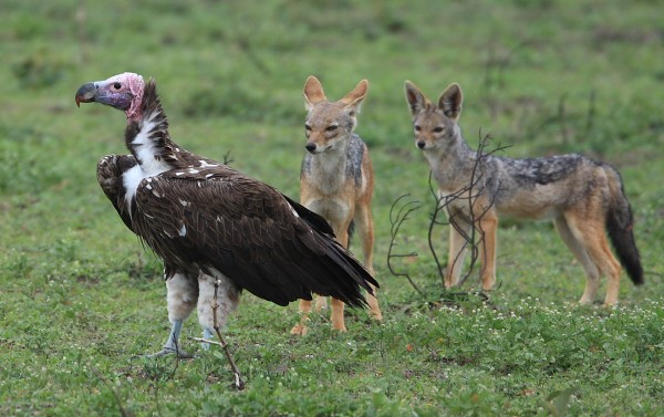 Lappet-faced Vulture - watched by Bl-b Jackals