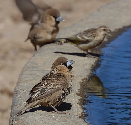 Sociable Weaver drinking